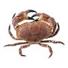 Noordzee krab (groot) heel levend, pantser en scharen, 800-1300gr