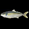 Kingfish heel 0.7-1 kg Zeeland ASC